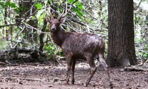 Deer Timor